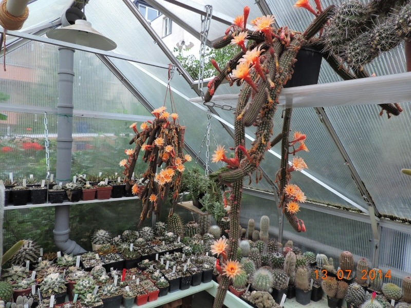 Cacti and Sukkulent in Köln, every day new flowers in the greenhouse Part 108 Bild1574