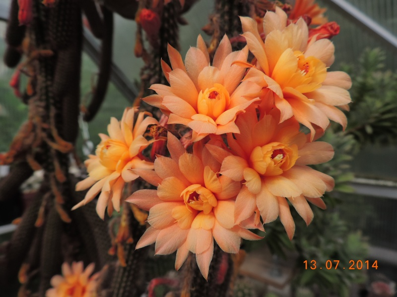 Cacti and Sukkulent in Köln, every day new flowers in the greenhouse Part 108 Bild1576
