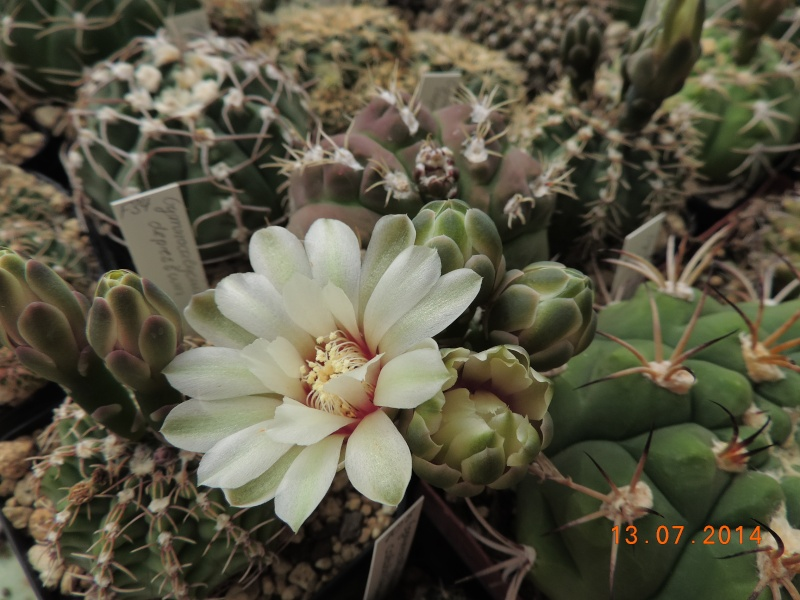 Cacti and Sukkulent in Köln, every day new flowers in the greenhouse Part 108 Bild1577