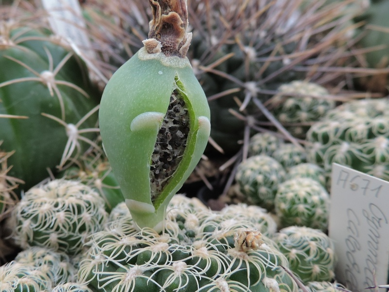 Cacti and Sukkulent in Köln, every day new flowers in the greenhouse Part 108 Bild1578