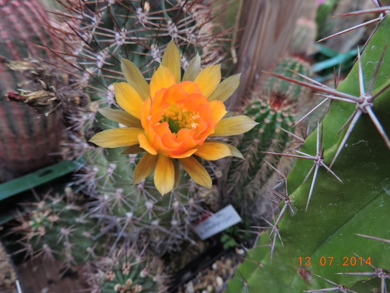 Cacti and Sukkulent in Köln, every day new flowers in the greenhouse Part 108 Bild1581