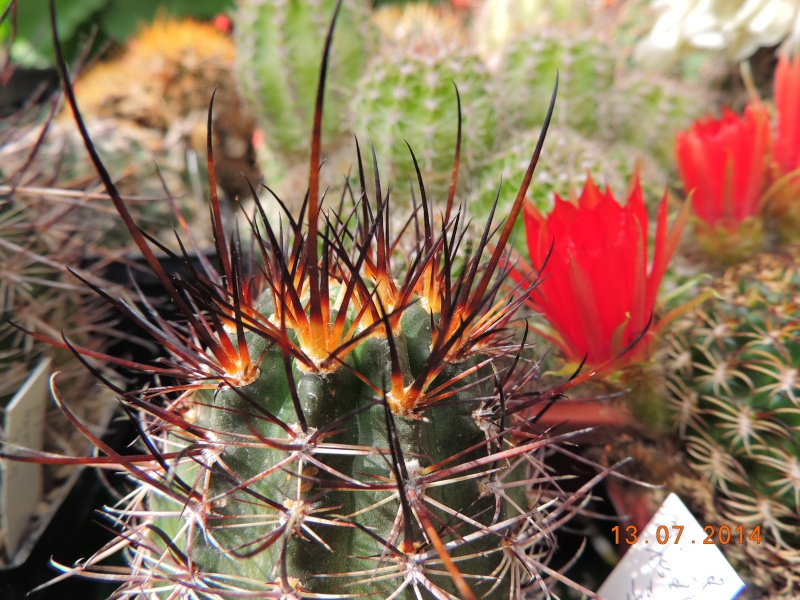 Cacti and Sukkulent in Köln, every day new flowers in the greenhouse Part 108 Bild1582