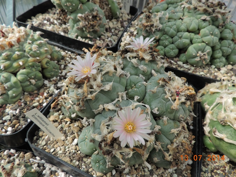 Cacti and Sukkulent in Köln, every day new flowers in the greenhouse Part 108 Bild1585