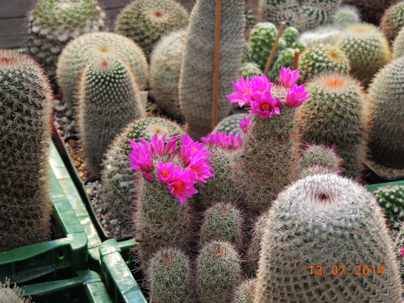 Cacti and Sukkulent in Köln, every day new flowers in the greenhouse Part 108 Bild1589
