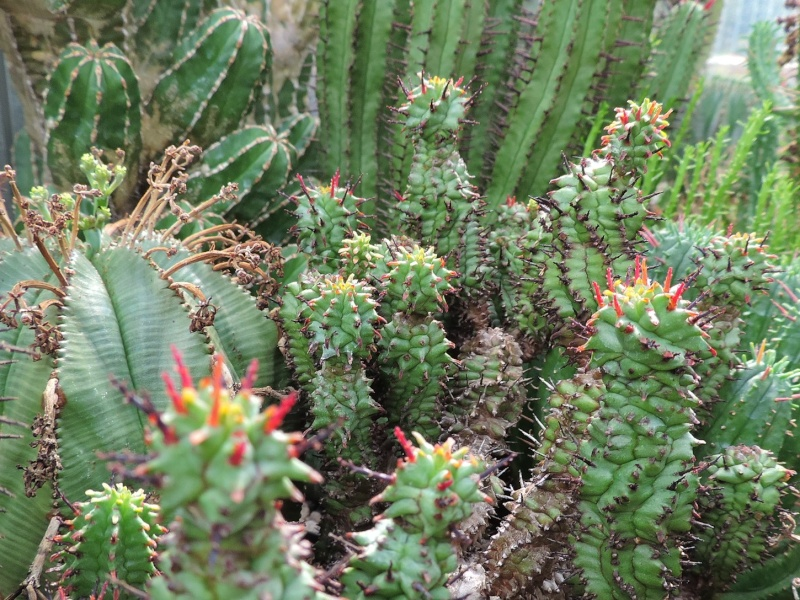 Cacti and Sukkulent in Köln, every day new flowers in the greenhouse Part 108 Bild1596