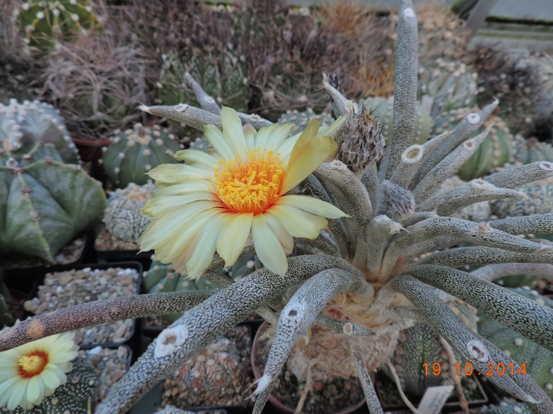 Cacti and Sukkulent in Köln, every day new flowers in the greenhouse Part 110 Bild1740