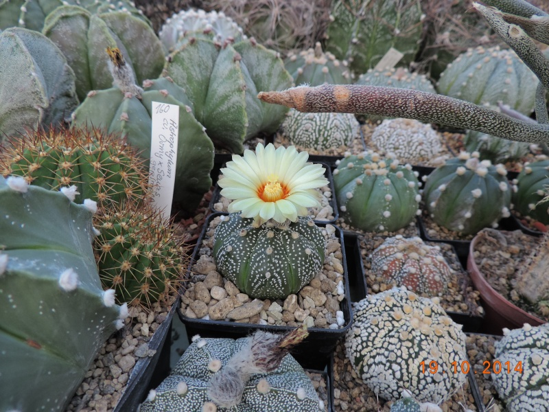 Cacti and Sukkulent in Köln, every day new flowers in the greenhouse Part 110 Bild1741