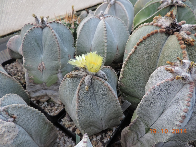 Cacti and Sukkulent in Köln, every day new flowers in the greenhouse Part 110 Bild1742