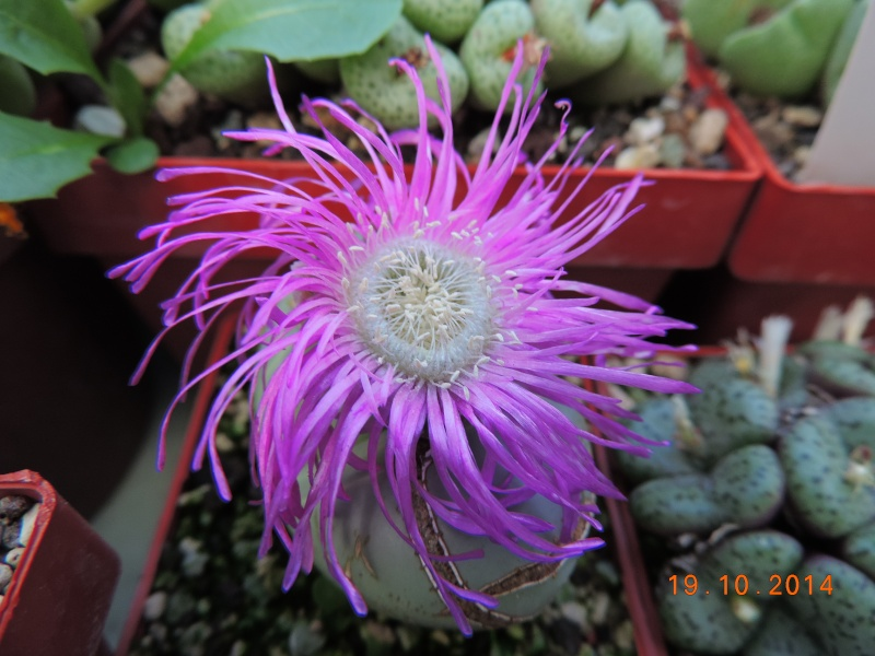 Cacti and Sukkulent in Köln, every day new flowers in the greenhouse Part 110 Bild1750