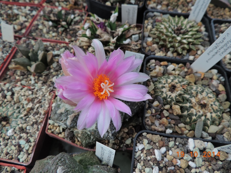 Cacti and Sukkulent in Köln, every day new flowers in the greenhouse Part 110 Bild1751