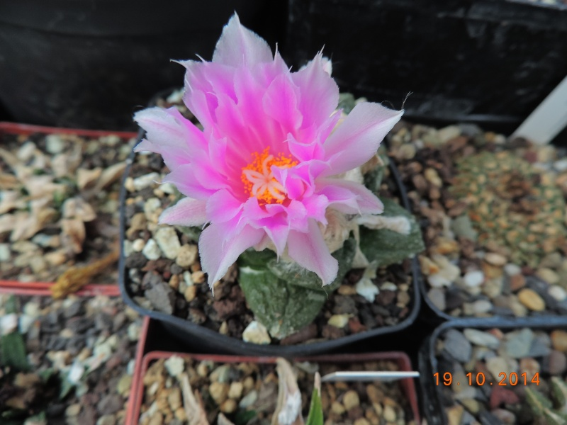 Cacti and Sukkulent in Köln, every day new flowers in the greenhouse Part 110 Bild1752