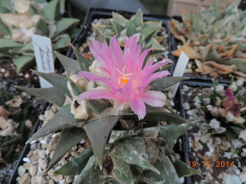 Cacti and Sukkulent in Köln, every day new flowers in the greenhouse Part 110 Bild1753