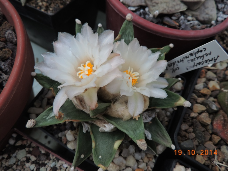 Cacti and Sukkulent in Köln, every day new flowers in the greenhouse Part 110 Bild1754