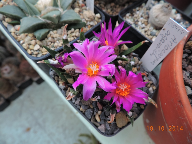Cacti and Sukkulent in Köln, every day new flowers in the greenhouse Part 110 Bild1755