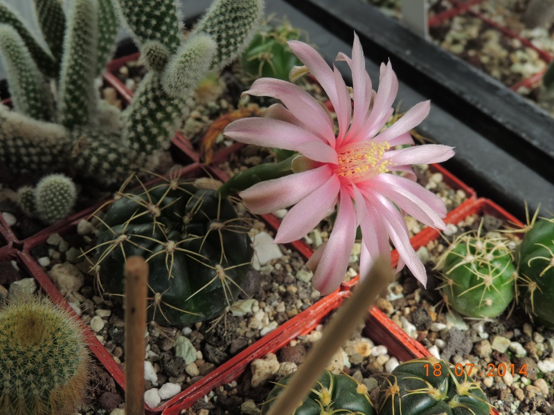 Cacti and Sukkulent in Köln, every day new flowers in the greenhouse Part 110 Bild1763