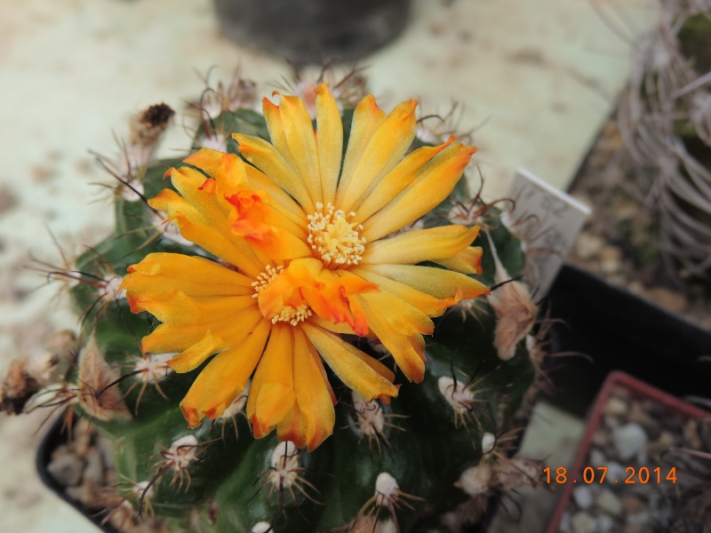 Cacti and Sukkulent in Köln, every day new flowers in the greenhouse Part 110 Bild1764