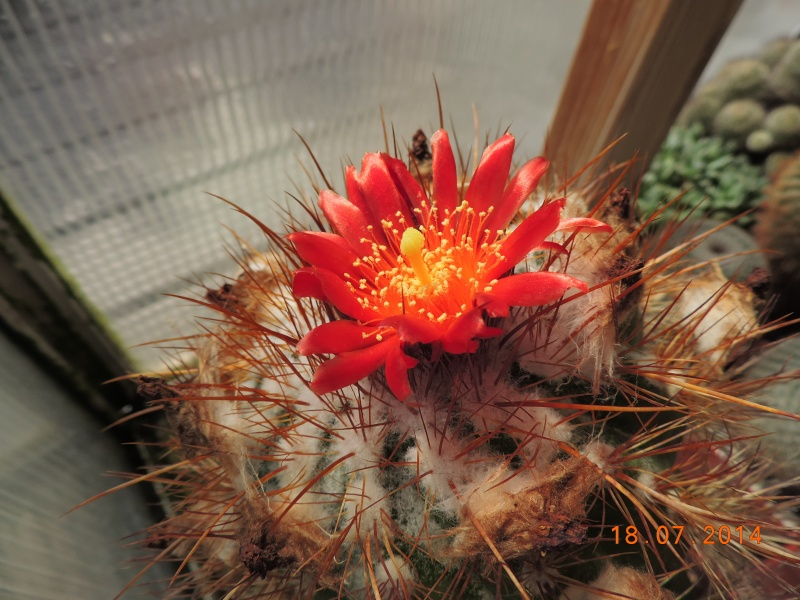Cacti and Sukkulent in Köln, every day new flowers in the greenhouse Part 110 Bild1765