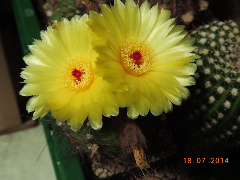 Cacti and Sukkulent in Köln, every day new flowers in the greenhouse Part 110 Bild1766