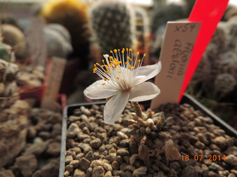 Cacti and Sukkulent in Köln, every day new flowers in the greenhouse Part 110 Bild1770