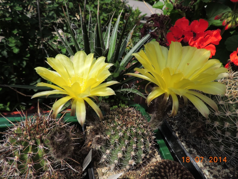 Cacti and Sukkulent in Köln, every day new flowers in the greenhouse Part 110 Bild1771