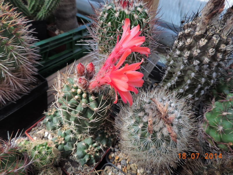Cacti and Sukkulent in Köln, every day new flowers in the greenhouse Part 110 Bild1774
