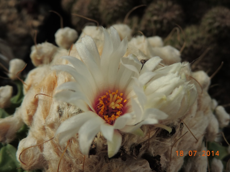 Cacti and Sukkulent in Köln, every day new flowers in the greenhouse Part 110 Bild1776