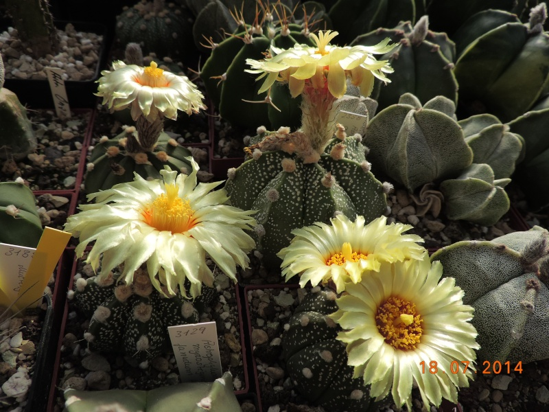 Cacti and Sukkulent in Köln, every day new flowers in the greenhouse Part 110 Bild1783