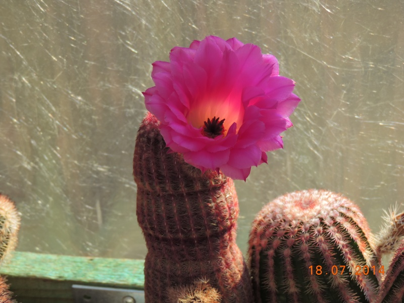 Cacti and Sukkulent in Köln, every day new flowers in the greenhouse Part 110 Bild1788