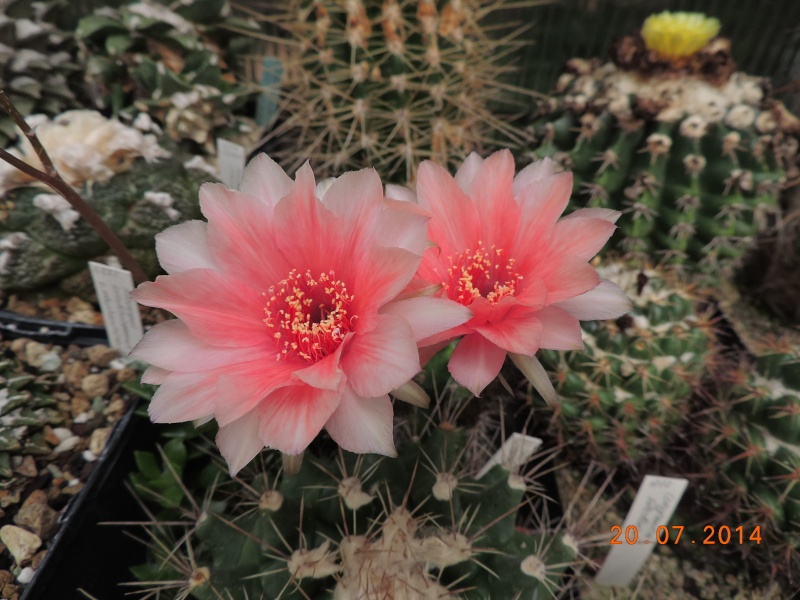 Cacti and Sukkulent in Köln, every day new flowers in the greenhouse Part 110 Bild1797
