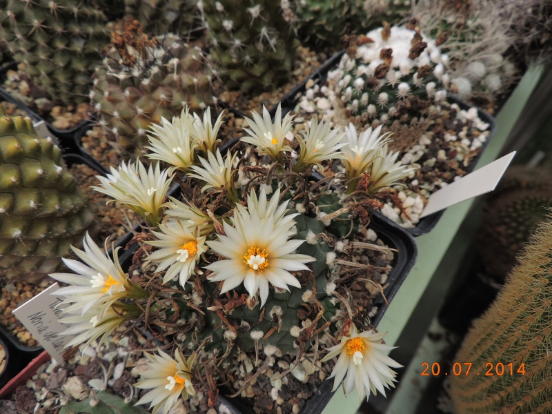 Cacti and Sukkulent in Köln, every day new flowers in the greenhouse Part 110 Bild1799