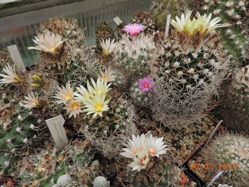 Cacti and Sukkulent in Köln, every day new flowers in the greenhouse Part 110 Bild1800