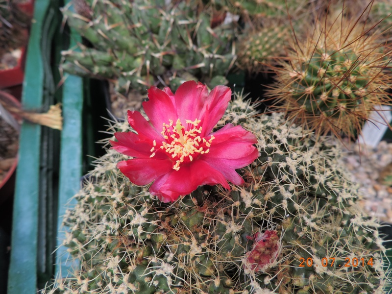 Cacti and Sukkulent in Köln, every day new flowers in the greenhouse Part 110 Bild1804