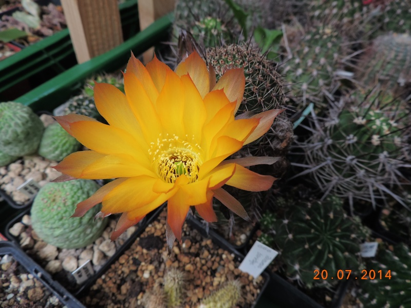 Cacti and Sukkulent in Köln, every day new flowers in the greenhouse Part 110 Bild1805