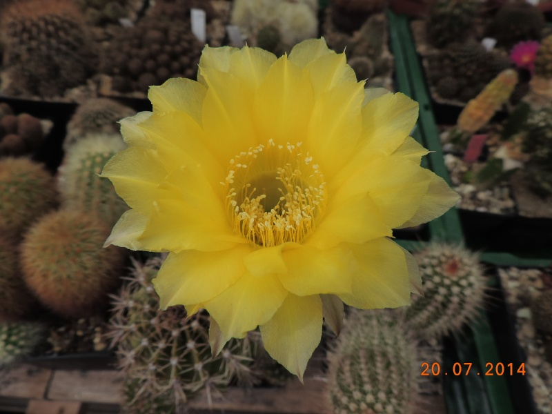 Cacti and Sukkulent in Köln, every day new flowers in the greenhouse Part 110 Bild1806
