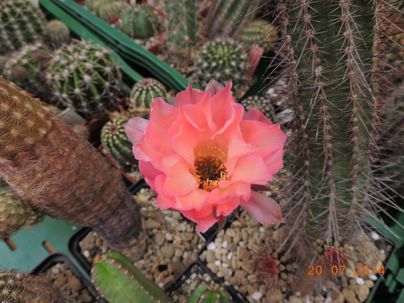 Cacti and Sukkulent in Köln, every day new flowers in the greenhouse Part 110 Bild1807