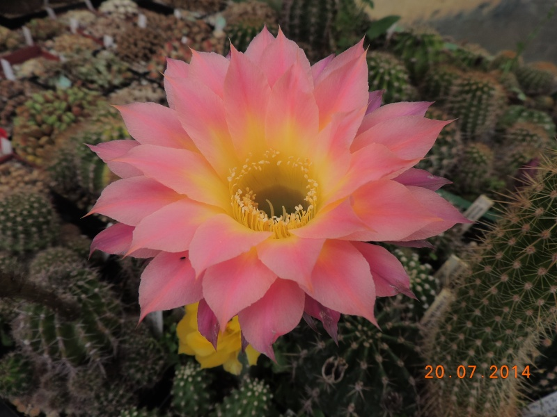 Cacti and Sukkulent in Köln, every day new flowers in the greenhouse Part 110 Bild1809