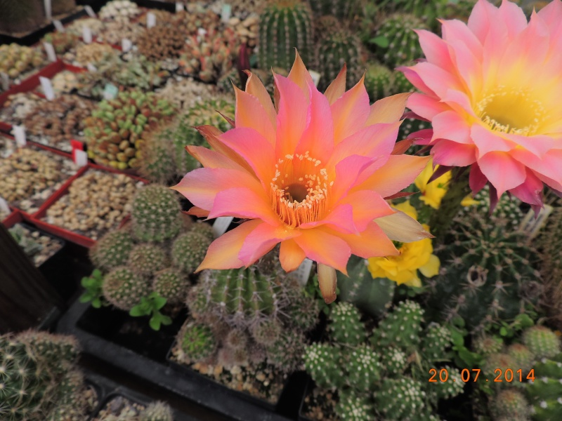 Cacti and Sukkulent in Köln, every day new flowers in the greenhouse Part 110 Bild1810