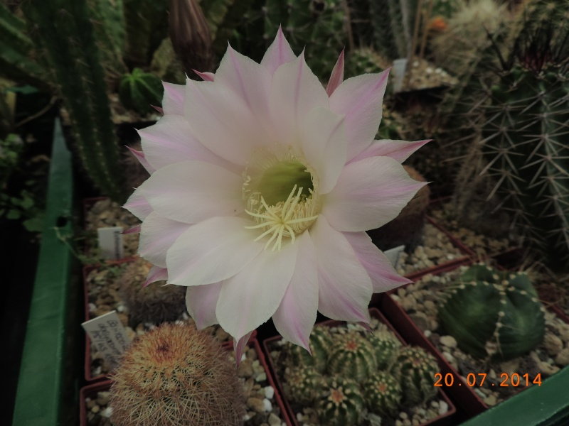 Cacti and Sukkulent in Köln, every day new flowers in the greenhouse Part 110 Bild1811
