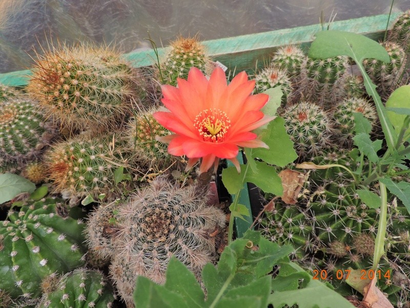 Cacti and Sukkulent in Köln, every day new flowers in the greenhouse Part 110 Bild1812