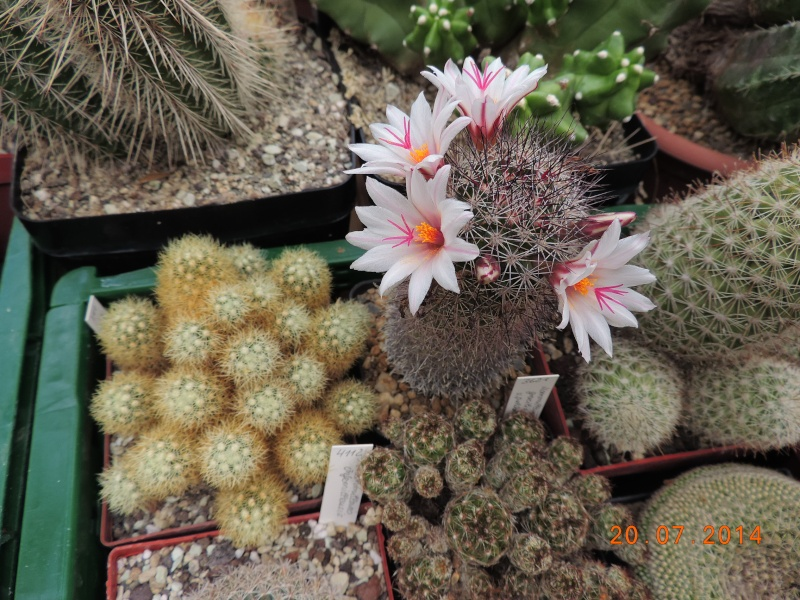 Cacti and Sukkulent in Köln, every day new flowers in the greenhouse Part 110 Bild1814