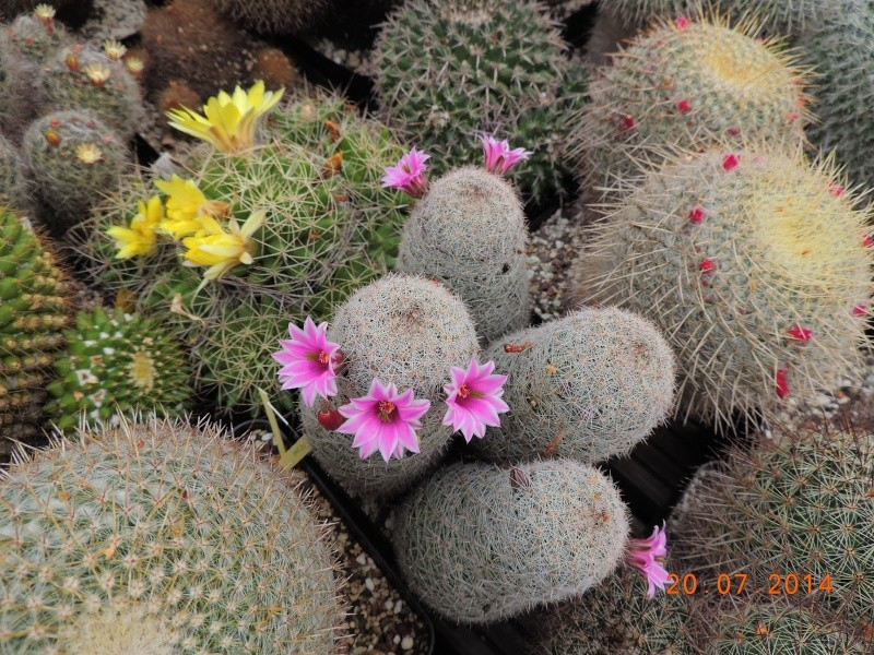 Cacti and Sukkulent in Köln, every day new flowers in the greenhouse Part 110 Bild1815
