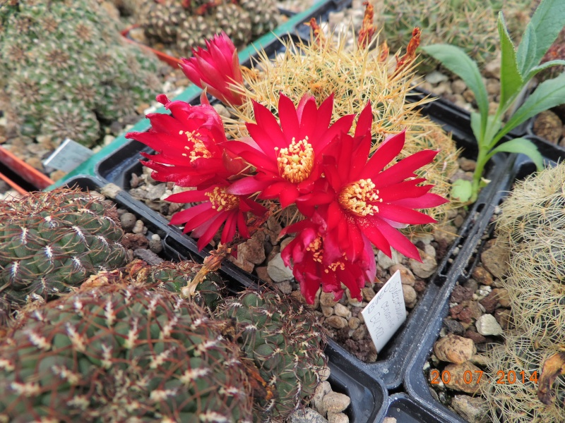 Cacti and Sukkulent in Köln, every day new flowers in the greenhouse Part 110 Bild1816