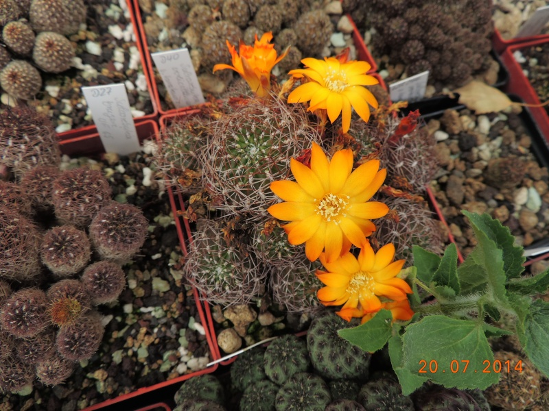 Cacti and Sukkulent in Köln, every day new flowers in the greenhouse Part 110 Bild1817