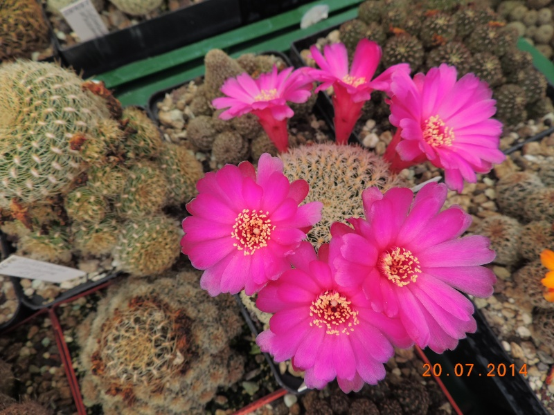 Cacti and Sukkulent in Köln, every day new flowers in the greenhouse Part 110 Bild1818