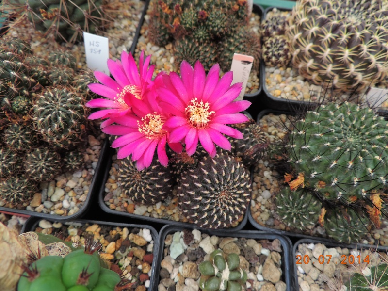 Cacti and Sukkulent in Köln, every day new flowers in the greenhouse Part 110 Bild1819