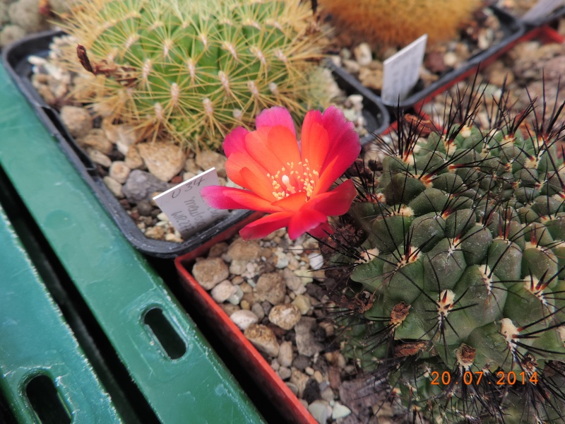 Cacti and Sukkulent in Köln, every day new flowers in the greenhouse Part 110 Bild1821