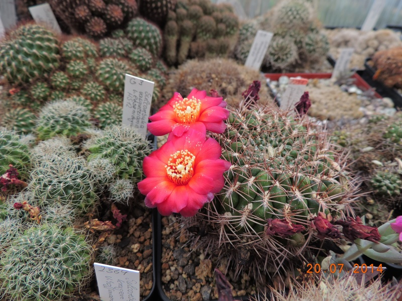 Cacti and Sukkulent in Köln, every day new flowers in the greenhouse Part 110 Bild1822