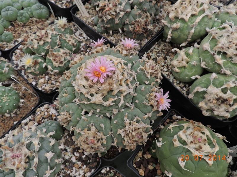 Cacti and Sukkulent in Köln, every day new flowers in the greenhouse Part 110 Bild1827