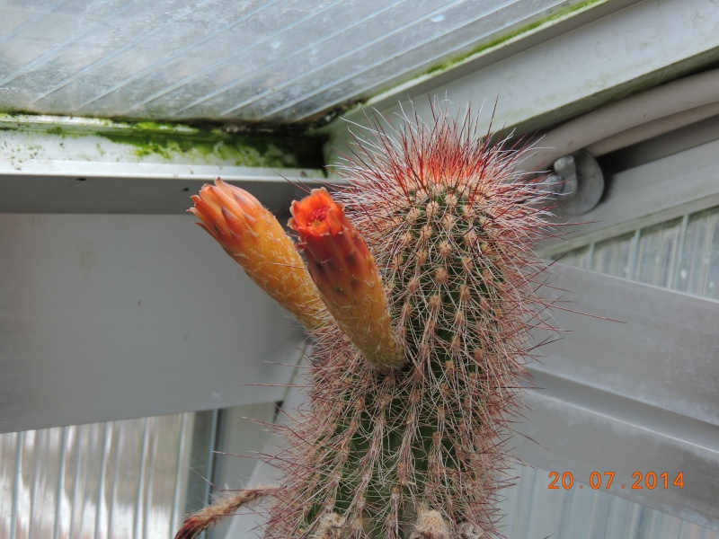 Cacti and Sukkulent in Köln, every day new flowers in the greenhouse Part 110 Bild1828