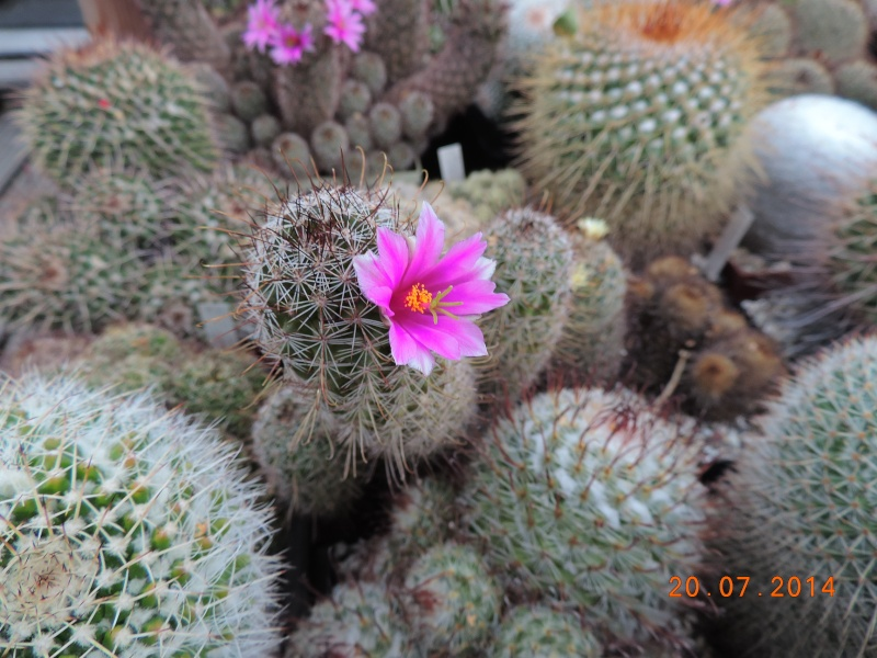 Cacti and Sukkulent in Köln, every day new flowers in the greenhouse Part 110 Bild1829